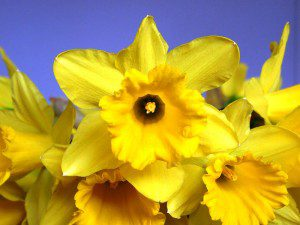 Daffodils on blue