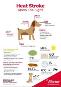 Infographic showing how to keep your dog safe in the heat.  Also show how to spot the signs of heat stroke in a dog.